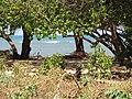 Starr-110312-3222-Thespesia populnea-after tsunami exposed roots sand swept away-Kanaha Beach-Maui (24783910320).jpg