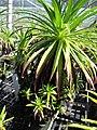 Starr-110524-5831-Argyroxiphium grayanum-in greenhouse-Haleakala National Park-Maui (24469181463).jpg