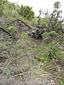 Starr-110705-4799-Erica lusitanica-plant cut at base-Waiale Gulch-Maui (24470916693).jpg