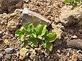 Starr-110929-9604-Acanthospermum australe-flowering habit-Hanaula-Maui (25116908235).jpg