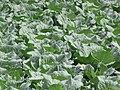 Starr-120403-4137-Brassica oleracea var capitata-crop-Kula-Maui (25112160226).jpg