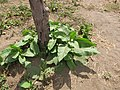 Starr-120412-4624-Nicotiana tabacum-habit-Waihee Coastal Preserve-Maui (25139357545).jpg