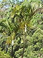 Starr-120606-6781-Chrysalidocarpus lutescens-habit-Puaa Kaa Park Hana Hwy-Maui (25051046461).jpg