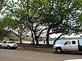 Starr-120606-7027-Terminalia catappa-habit-Hana Bay-Maui (24849032690).jpg
