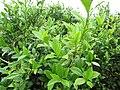 Starr-120620-7479-Camellia sinensis-leaves-Kula Agriculture Station-Maui (24850093120).jpg