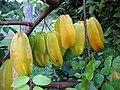 Starr-121108-0863-Averrhoa carambola-fruit-Pali o Waipio-Maui (24569742893).jpg