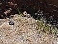 Starr-170505-0871-Bromus diandrus-small patch seeding-Science City-Maui (34418572863).jpg