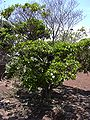 Starr 030523-0033 Gardenia brighamii.jpg
