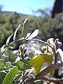 Starr 031214-0033 Sophora chrysophylla.jpg