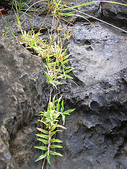 Chrysopogon   Chrysopogon Aciculatus
