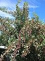 Starr 041028-0223 Conocarpus erectus.jpg