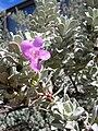Starr 041028-0233 Leucophyllum frutescens.jpg