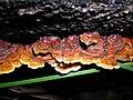 Starr 041211-1299 Eucalyptus sp..jpg