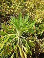 Starr 060121-8698 Artemisia mauiensis var. diffusa.jpg