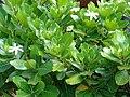 Starr 070221-4640 Gardenia sp..jpg
