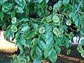 Starr 070727-7639 Pterocarpus indicus.jpg