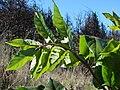Starr 080301-3122 Tetraplasandra hawaiensis.jpg
