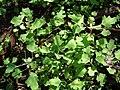 Starr 090121-0922 Chenopodium oahuense.jpg