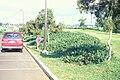 Starr 990105-2916 Lonicera japonica.jpg