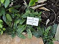 Staurogyne sp. - Jardin Botanique de Lyon - DSC05404.JPG