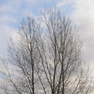 Steganography - Image of a tree with a steganographically hidden image. The hidden image is revealed by removing all but the two least significant bits of each color component and a subsequent normalization. The hidden image is shown below.
