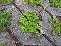 Stellaria media Ruderalflora.jpg