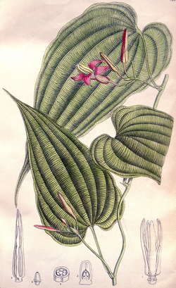 Stemona curtisii