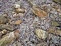 Stones and seaweed - geograph.org.uk - 467214.jpg