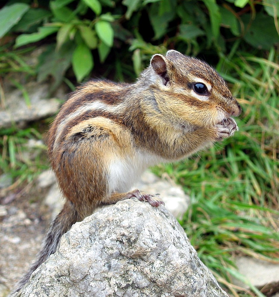 The average litter size of a Siberian chipmunk is 5