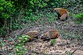 Stripe-necked Mongoose (Herpestes vittiicollis).jpg
