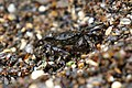 Striped Shore Crab Glass Beach, Fort Bragg.jpg