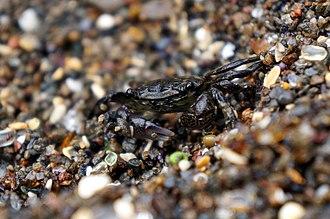 Glass Beach (Fort Bragg, California) - Image: Striped Shore Crab Glass Beach, Fort Bragg