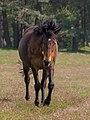 Stukenbrock Senner Pferde Moosheide 078, cropped.jpg