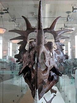 Styracosaurus albertensis skull 02.jpg