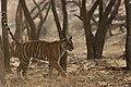 Sub-adult Tiger marking territory.jpg
