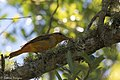 Summer Tanager ( 1st year male) Anahuac NWR - Woodlot TX 2018-04-25 12-12-58 (42024326802).jpg