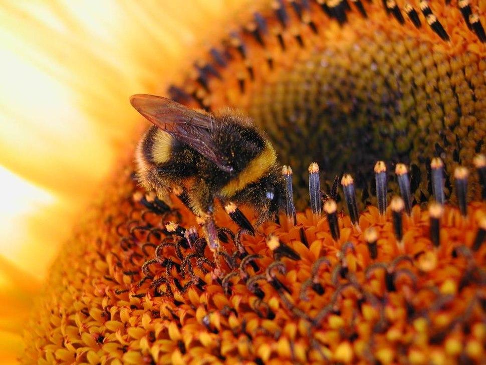 Sunflower Bumbebee