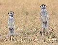 Suricatos (Suricata suricatta), parque nacional Makgadikgadi Pans, Botsuana, 2018-07-30, DD 27.jpg