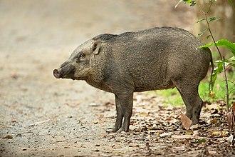 Banded pig - A Banded pig on Pulau Ubin, Singapore