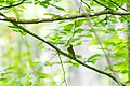Swainson's warbler (26179621443).jpg