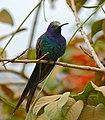 Swallow-tailed Hummingbird (Eupetomena macroura) (28955031211).jpg
