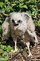 Swamp Harrier chick Waikato New Zealand.jpg