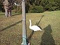 Swan behind a post (8315353276).jpg