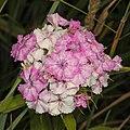 Sweet William - Dianthus barbatus, Finzel Swamp, Finzel, Maryland, June 29, 2020.jpg