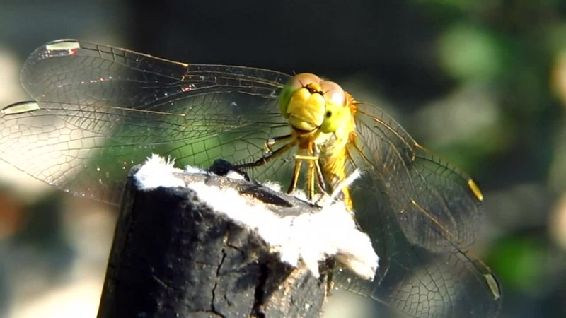 File:Sympetrum sanguineum dragonfly of the family Libellulidae