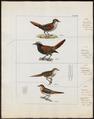 Synallaxis maluroides - 1820-1860 - Print - Iconographia Zoologica - Special Collections University of Amsterdam - UBA01 IZ19200157.tif