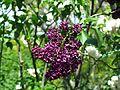 Syringa vulgaris Sarah Sands.jpg