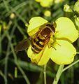 Syrphus sp. (ribesii or vitripennis^) Syrphidae - Flickr - gailhampshire.jpg