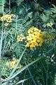Tanacetum vulgare (4867701759).jpg