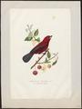 Tanagra jacapa - 1700-1880 - Print - Iconographia Zoologica - Special Collections University of Amsterdam - UBA01 IZ15900221.tif
